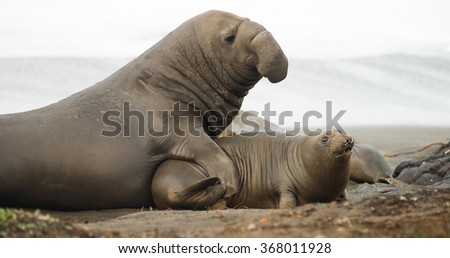 Soft sand of the Pacific Coast provides ground for mating rituals of the Elephant Seal - stock photo
