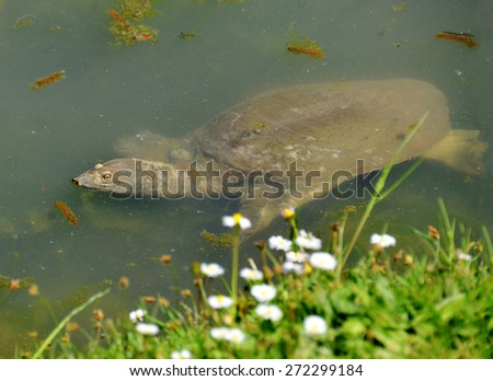 soft-shell turtle trionyx - stock photo