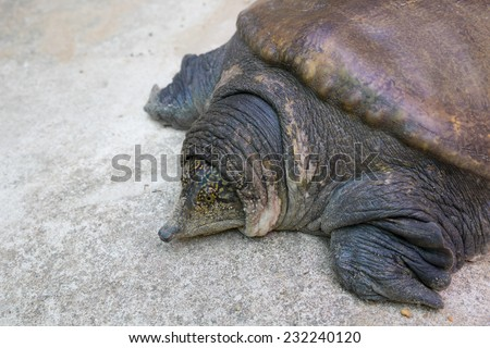 soft-shell turtles - Family: Trionychidae in front - stock photo