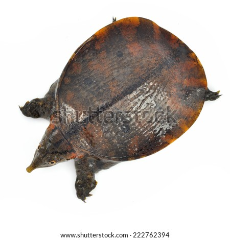 soft-shell turtles - Family: Trionychidae in front of a white backgroung  - stock photo