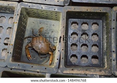 soft shelled crabs on black box - stock photo