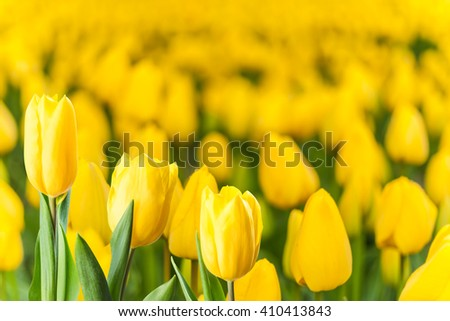 Soft spring floral background, beautiful tulip flowers, selective focus