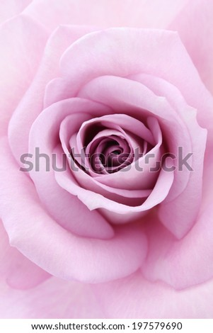 soft violet rose, close up