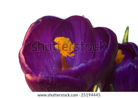 Soft violet springtime crocus flowers against a white background