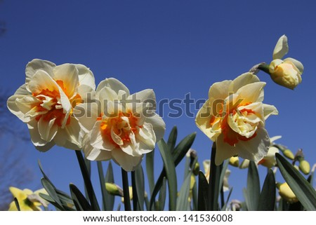 Soft yellow and orange daffodils against a bright deep blue sky on a sunny day - stock photo