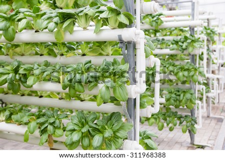 Soilless cultivation technology - rapeseed - stock photo