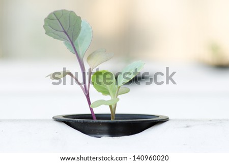 soilless vegetable or hydroponic system seedling - stock photo