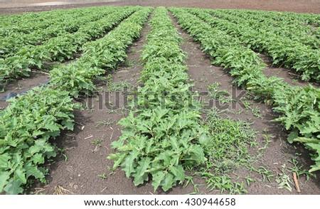 Solanum bush, agriculture, food crop, cultivated plant, Thai eggplant, aubergine, edible plant, backyard garden, home-grown vegetable, organic farm - stock photo