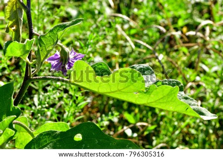Solanum Melongena Eggplant Brinjal Ubergine Garden Stock Photo ...
