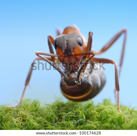 soldier ant formica rufa ready to shoot with acid - stock photo