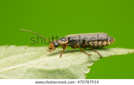 Soldier beetle, Cantharis obscura on leaf