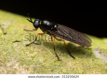 Soldier fly, stratiomyidae - stock photo