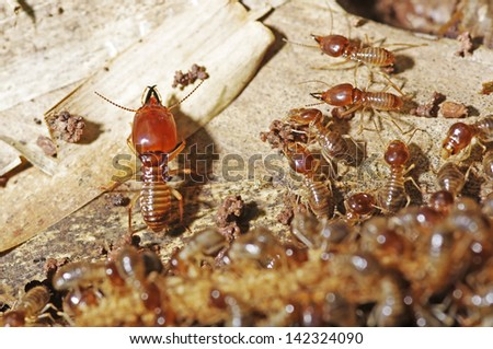 soldier termite is guarding the worker termites - stock photo