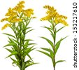 Solidago canadensis Goldenrod flower isolated on white background - stock photo