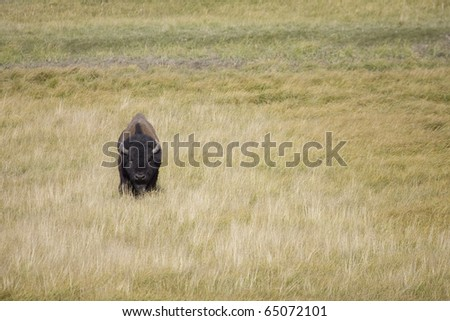 Solitary American Bison crosses the plains in Yellowstone - stock photo