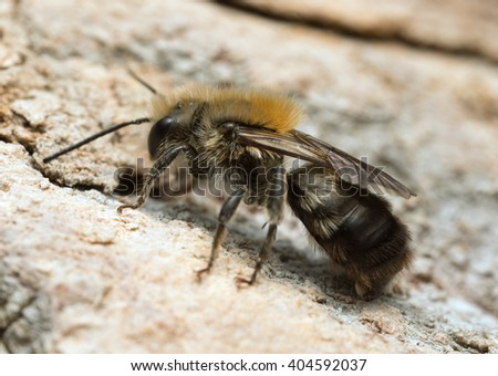 Solitary bee on wood