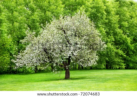 Solitary blooming apple tree in the garden - stock photo