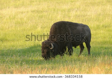 Solitary bull bison or North American buffalo (bison bison) in Yellowstone National Park - stock photo