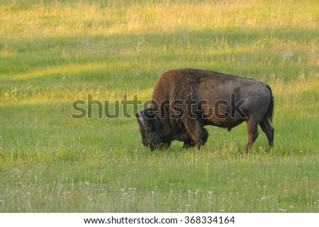 Solitary bull bison or North American buffalo (bison bison) in Yellowstone National Park