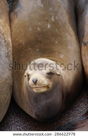 Solitary California sea lion resting on a wharf, (Zalophus californianus) , Newport Bay Harbor,Oregon coast - stock photo