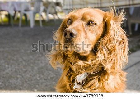 solitary Cocker dog - stock photo