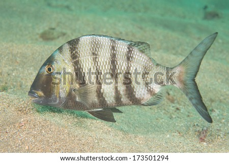 Solitary fish on a sandy bottom in south Florida - stock photo