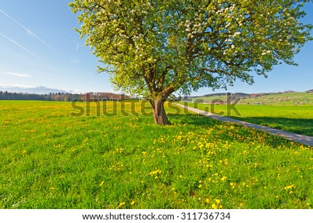 Solitary Flowering Tree Surrounded by Sloping Meadows in Switzerland on the Background of Snow-capped Alps - stock photo