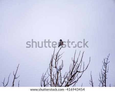 Solitary robin in winter at tip of tree branch - stock photo