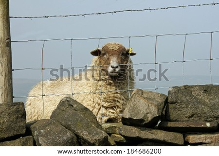 Solitary Sheep behind wire fence in Yorkshire UK