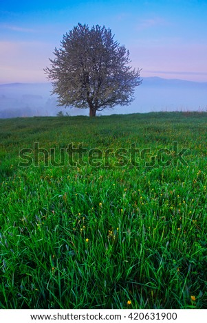 Solitary tree. Foggy summer morning in the mountains. Blooming tree on the hill with fog. Tree from Sumava mountain, Czech Republic. Fog in the landscape. Twilight in the landscape with blooming tree. - stock photo