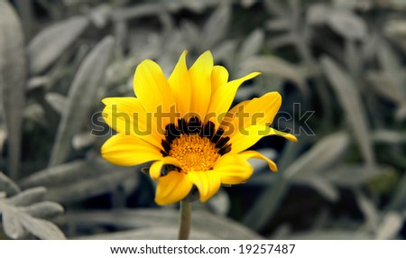 Solitary yellow and wonderful flower between grey and uncoloured plants. - stock photo