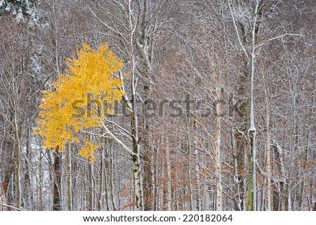 Solitary yellow maple tree among many snow covered trees, Stowe, Vermont, USA - stock photo