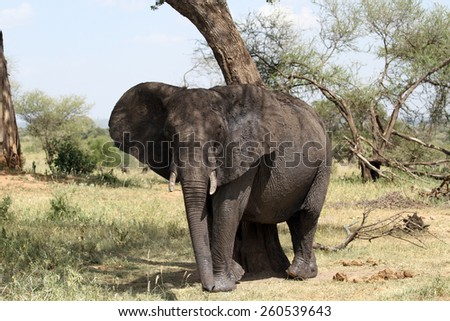 Solo African elephant