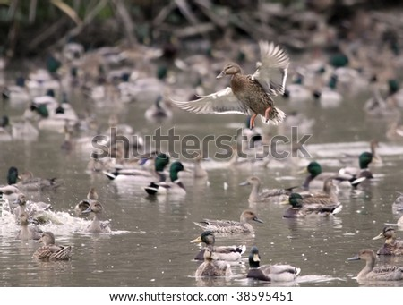Solo female mallard duck makes a tight landing landing in a busy pond - stock photo