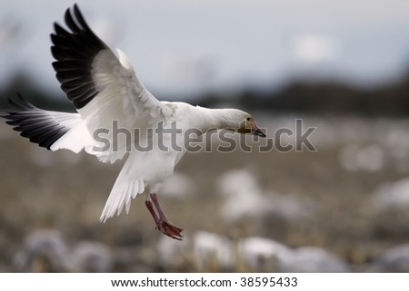 Solo male snow goose joins a flock in a field - stock photo