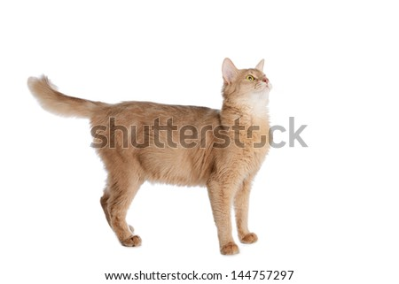 Somali cat  fawn color isolated on white background