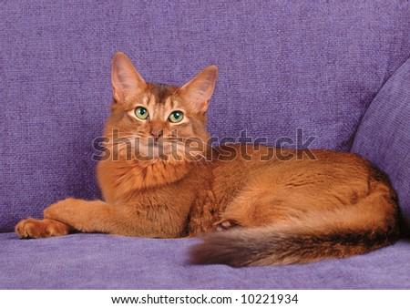 Somali cat lying on the sofa - stock photo
