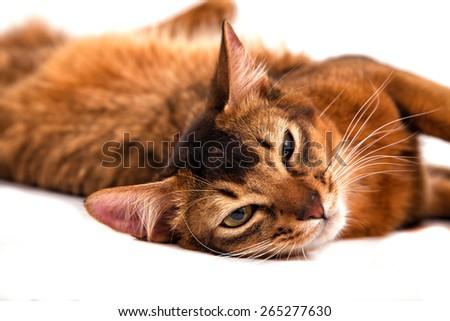 Somali cat on a white background. Cat lying. - stock photo