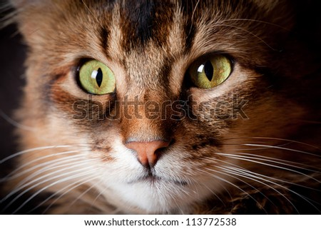 Somali cat on dark background - stock photo