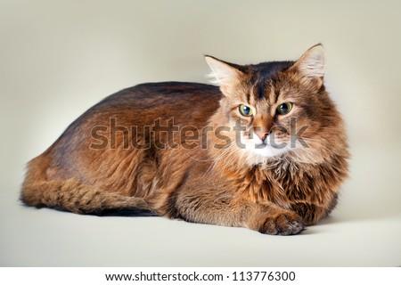 Somali cat on light background - stock photo