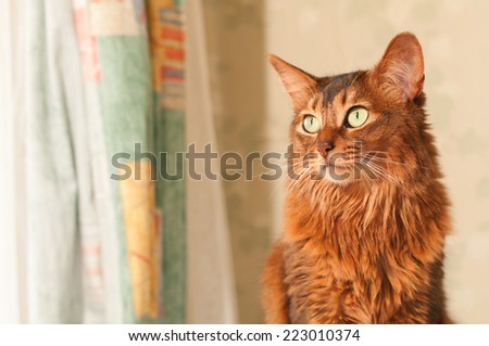 Somali cat portrait at home near curtains looking aside with copy space