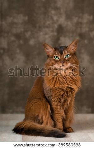 Somali cat portrait at studio on wooden floor - stock photo