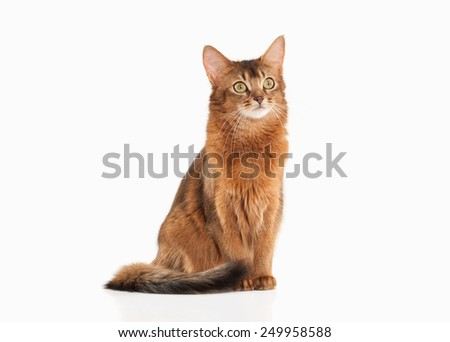 Somali cat ruddy color on white bakcground - stock photo