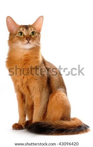 Somali cat ruddy color sitting isolated on white bakcground - stock photo