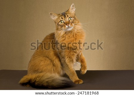 Somali cat sitting on gold bronze background  - stock photo