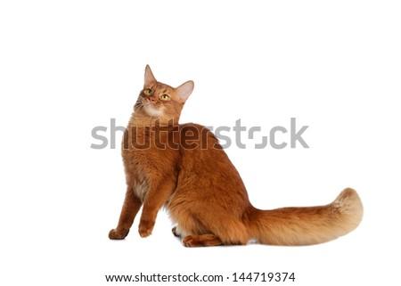 Somali cat  sorrel color isolated on white background - stock photo