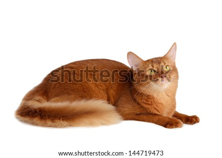 Somali cat  sorrel color isolated on white background