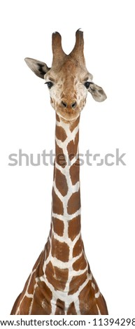Somali Giraffe, commonly known as Reticulated Giraffe, Giraffa camelopardalis reticulata, 2 and a half years old against white background - stock photo