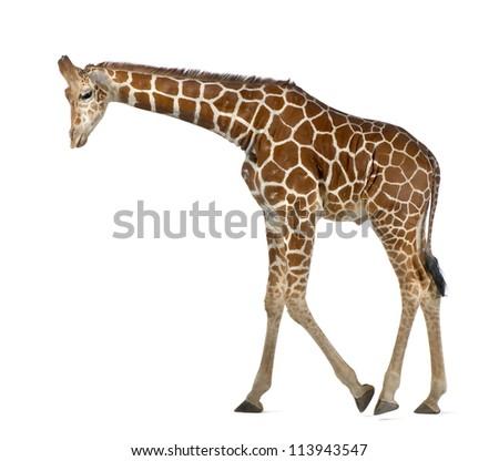 Somali Giraffe, commonly known as Reticulated Giraffe, Giraffa camelopardalis reticulata, 2 and a half years old walking against white background