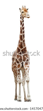 Somali giraffe (Giraffa camelopardalis) standing isolated on white background - stock photo